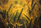 Barley crops field detail