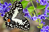 Papilio demoleus black and white spots butterfly