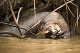 Giant river otter eating fish in reeds