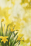 Daffodils with bokeh background