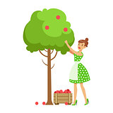 Woman Picking Organic Apples From A Tree , Contributing Into Environment Preservation By Using Eco-Friendly Ways Illustration