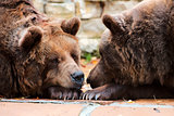 Two brown bears