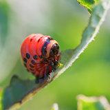caterpillar of potato beetle eats potatoes