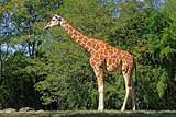 Giraffe in Natural Habitat