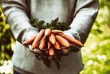 Fresh carrots in farmers hands