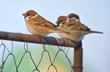 Little Sparrows on fence