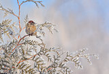 Little Sparrows on pine tree branch