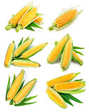 Set fresh corn with green leaf harvest