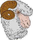 Merino Ram Sheep Head Drawing