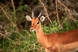 Impala, Tsavo East National Park