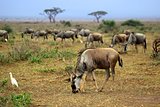 Big wildebeest migration in African Safari