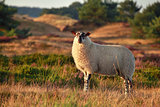 sheep on hill in sunset sunlight