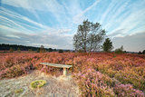 bench among heather flowers in morning