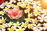 Plumeria and lotus flowers in water