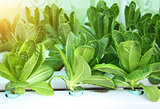 Green lettuce salad in hydroponic farm