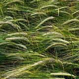 Detail of green corn