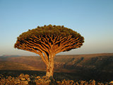 Dragon tree, Socotra