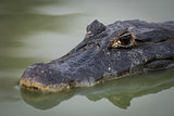 Close-up of yacare caiman in calm river