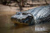 Close-up of yacare caiman in muddy shallows