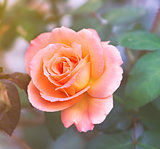 Apricot pink Rose on soft background