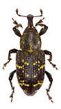 Large Pine Weevil on white Background  -  Hylobius abietis (Linnaeus, 1758)