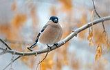 Bullfinch bird sitting on a branch