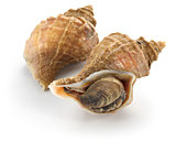 tsubu gai, japanese whelk