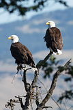 Bald Eagles sitting in a tree