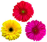 gerbera flowers  isolated on white background. yellow gerbera.