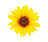 Bright sunflower with drops dews