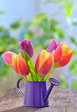 tulips in sprinkler garden