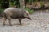 Wild Boar at Pulau Ubin Island
