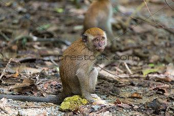 Baby Monkey in Pulau Ubin Island