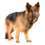 German shepherd long-haired dog standing studio isolated