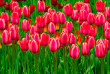 field of tulips. tulips flowers. red tulips