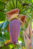 hanging banana flower