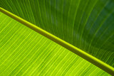 Banana leaf texture background.