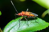 Red Cotton Bug (Dysdercus cingulatus)