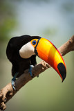 Toco toucan on branch bending head down