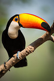 Toco toucan on branch turning beak right