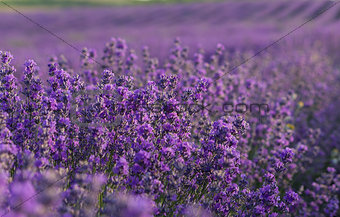 Lavender flowers blooming on field in the summer