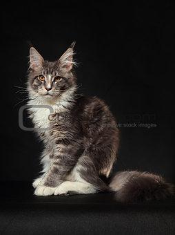 Kitten of Maine coon