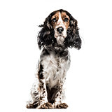 English Cocker Spaniel isolated on white