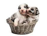 Two 21 day old crossbreed puppies playing in a basket