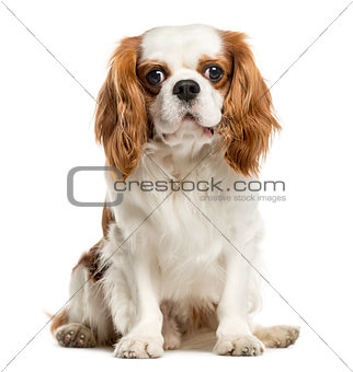 Cavalier King Charles Spaniel, isolated on white