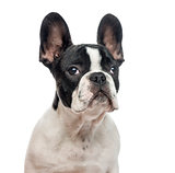 Close-up of French Bulldog puppy, isolated on white