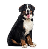 Bernese Mountain Dog, 7 months old, isolated on white