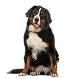 Wet Bernese Mountain dog panting isolated on white