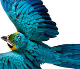 Top view of a Blue-and-yellow Macaw flying isolated on white