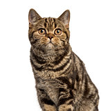 Close-up of a British Shorthair looking up isolated on white